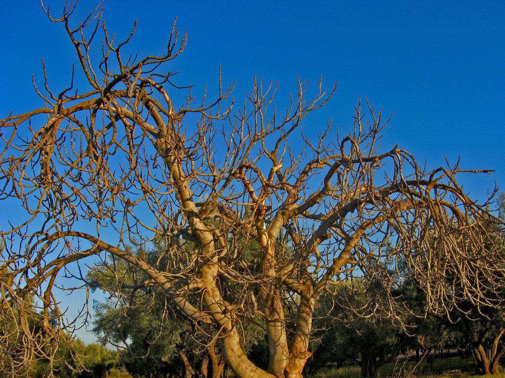 dead fig tree