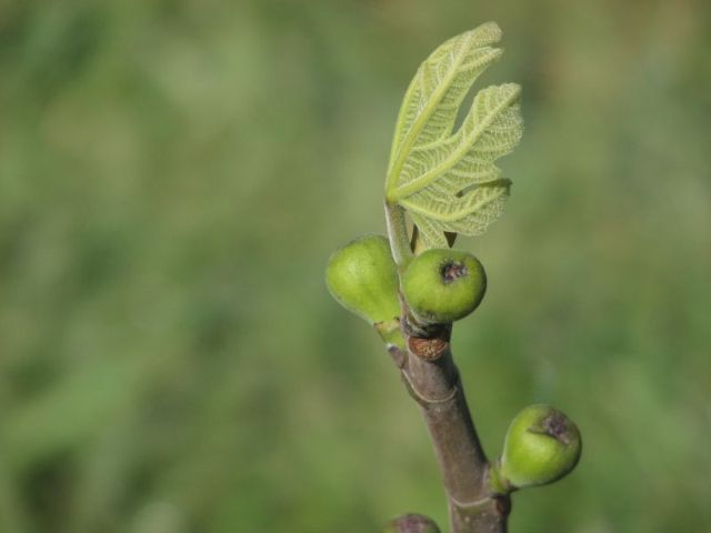 fig.and.leaf